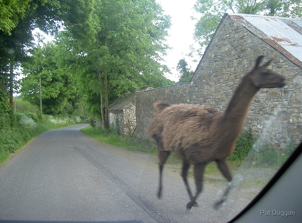 Llama on the loose--Country road Co.Tipperary[Please View Larger] by Pat Duggan