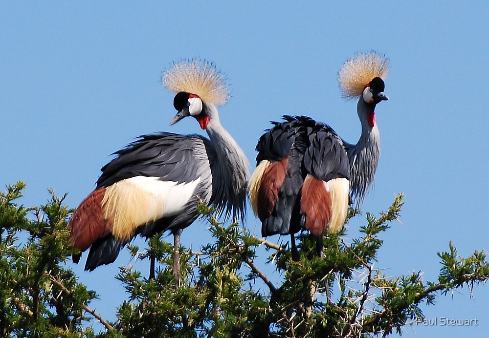 Dancing Crested Cranes on the Serengeti Plains of Tanzania, AFRICA. by Paul Stewart