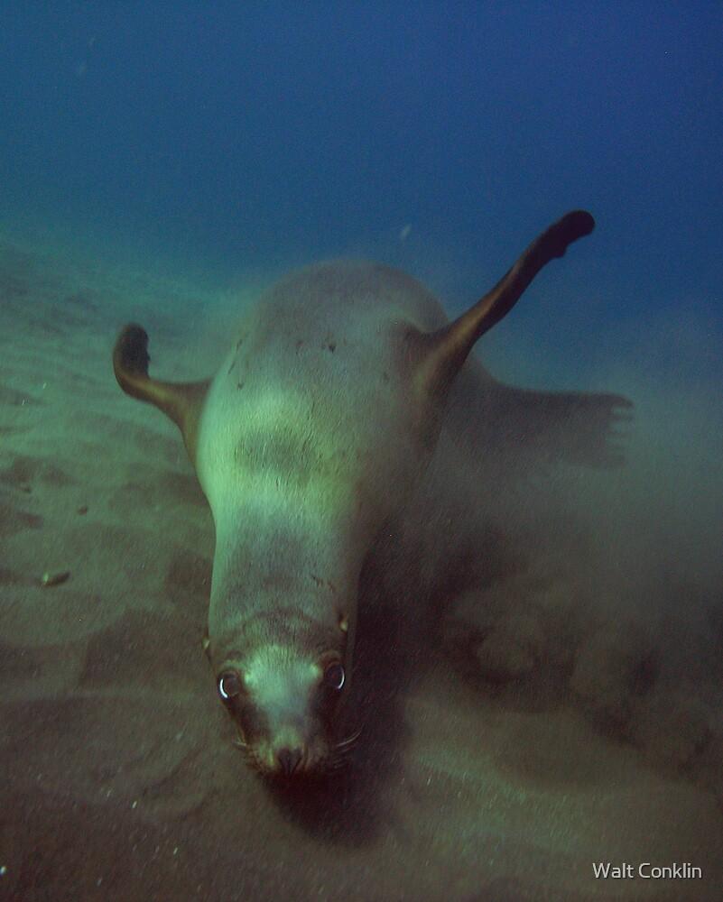 Playful Sea Lion by Walt Conklin
