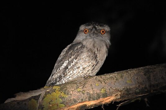 Funny looking possum, Tawny Frogmouth (Podargus strigoides) by adamisalive