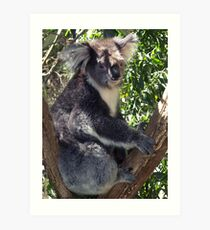 Koala in the Dandenong Ranges, Victoria, Australia Art Print