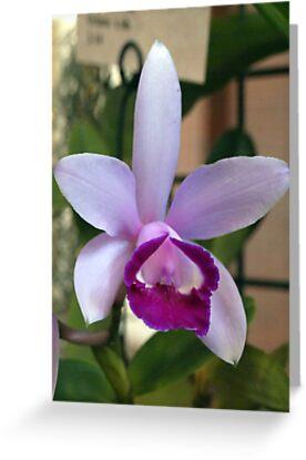 The Orchid ~ C.intermedia Orlato x sib by Clive