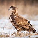 Young White Tailed Eagle by Dominika Aniola