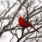 Winter Cardinal - Icy Tree by Mary Carol Story