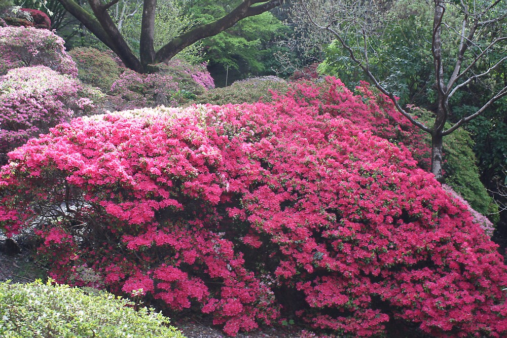 Rhododendron Garden by Scotie