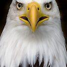 Sam the bald eagle. by Carole Stevens