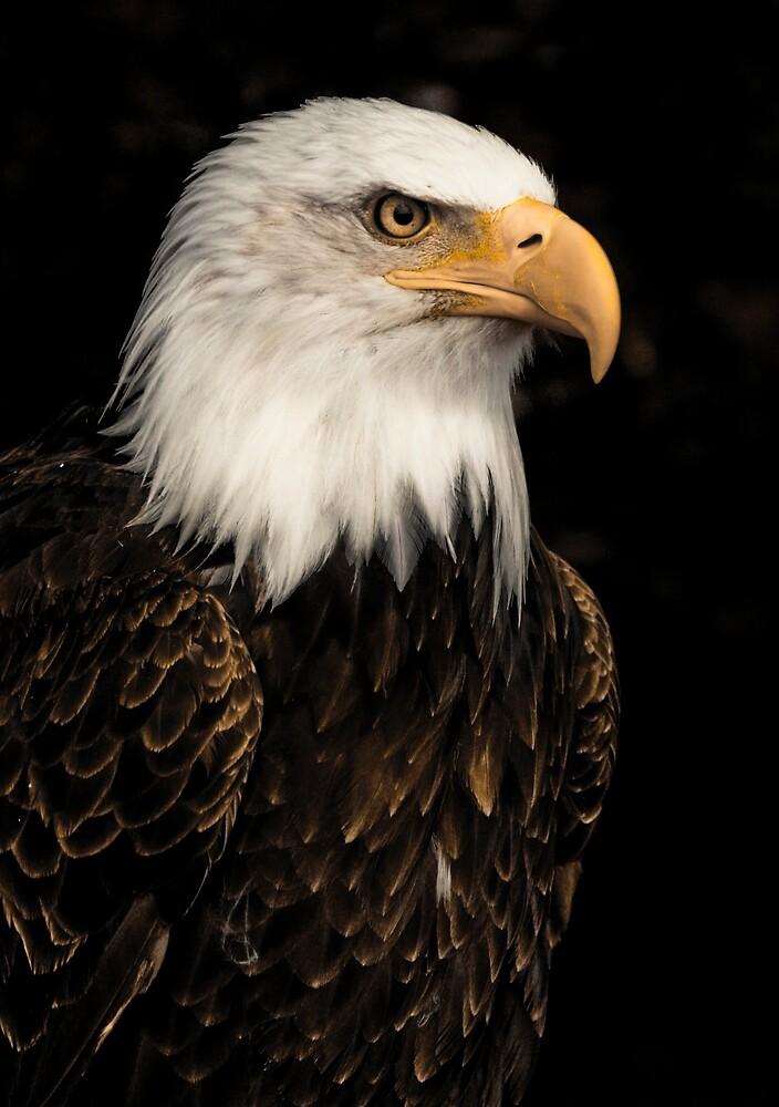 Bald eagle portrait by Carole Stevens