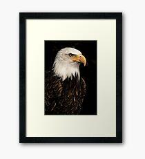 Bald eagle portrait Framed Print
