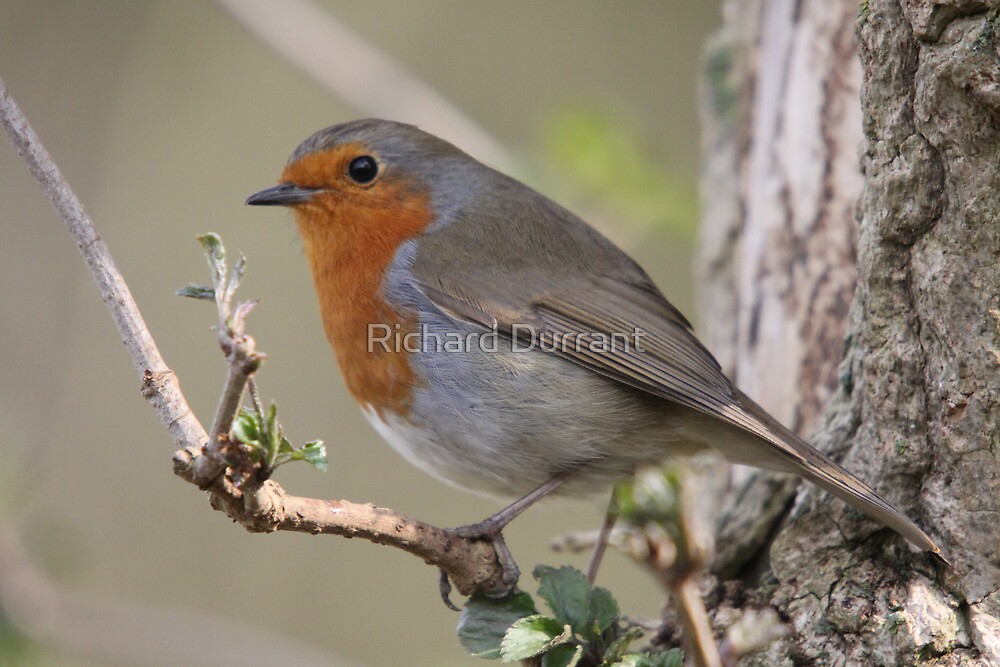 Spring Robin by Richard Durrant