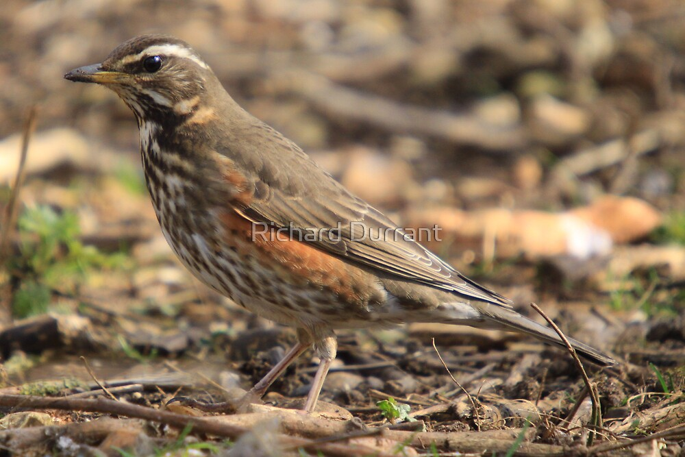 Redwing by Richard Durrant