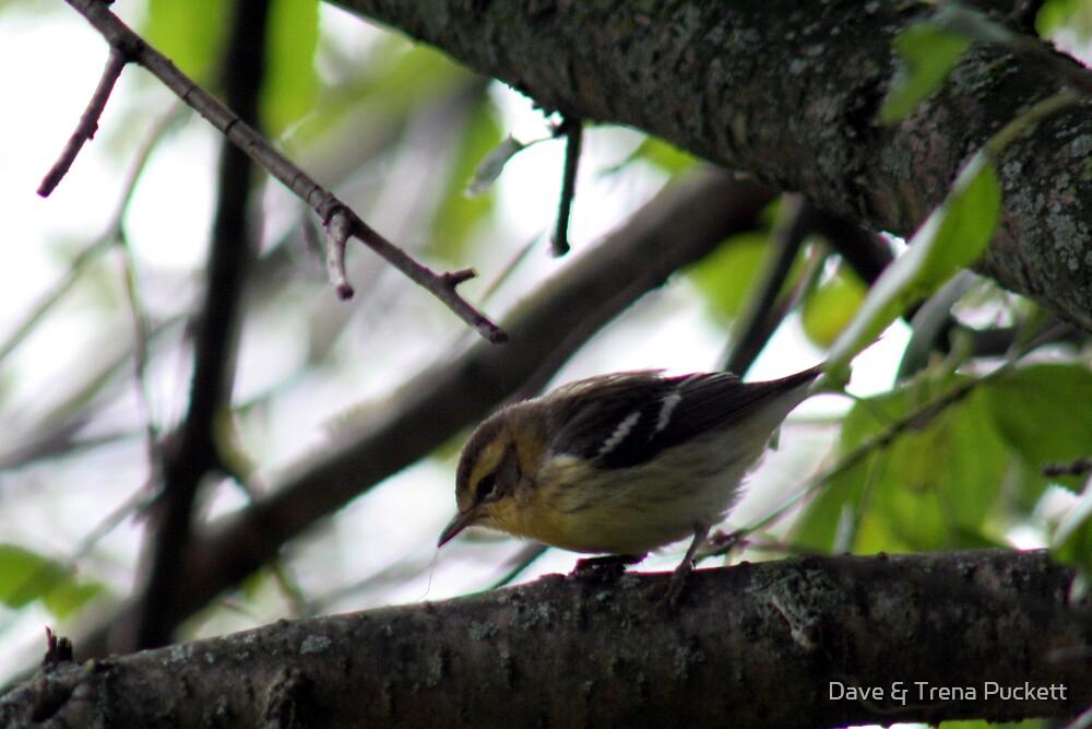 Pretty Bird by Dave & Trena Puckett