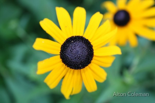 """Blackeyed Susan"" by Alton Coleman"