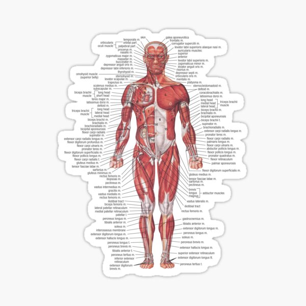 Muscular System of the Human Body Sticker