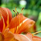 Orange Daylily by Donna R. Cole