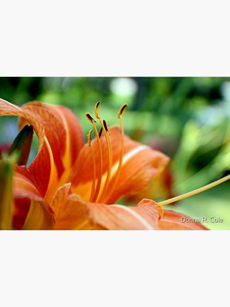 Orange Daylily by alwaysdrc