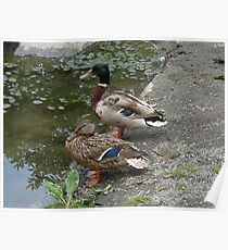 Ducks by a Pond Poster