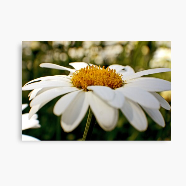 Daisy-Up Canvas Print