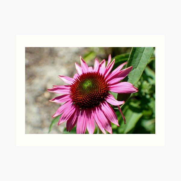 Echinacea in the Sun Art Print