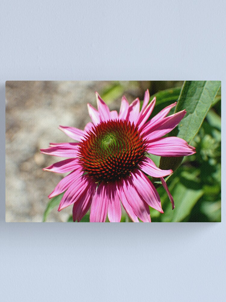 Alternate view of Echinacea in the Sun Canvas Print