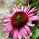 Echinacea in the Sun by Donna R. Cole