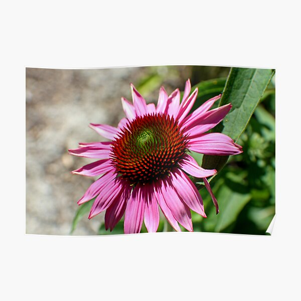 Echinacea in the Sun Poster