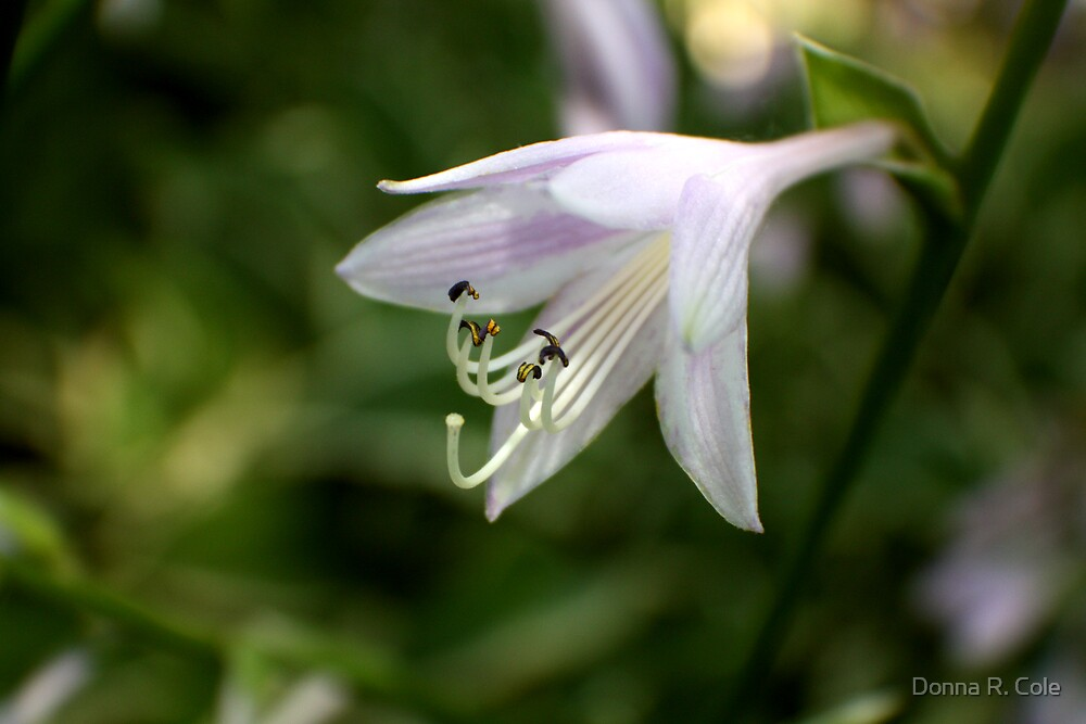 Hosta -2 by Donna R. Cole