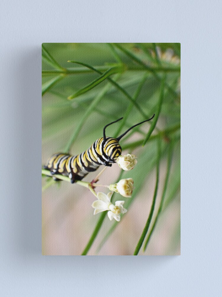 Alternate view of Monarch Caterpillar - 2 Canvas Print