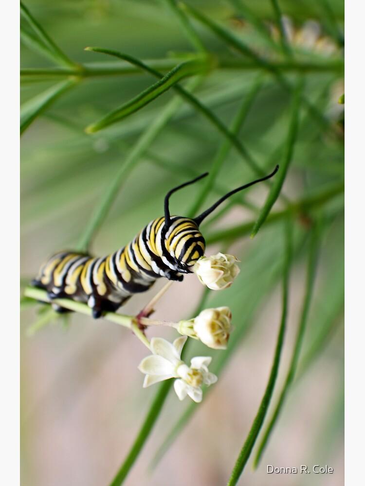 Monarch Caterpillar - 2 by alwaysdrc