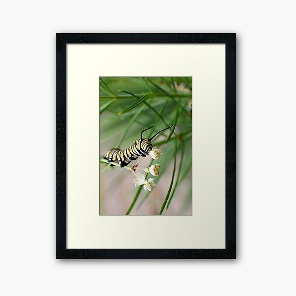 Monarch Caterpillar - 2 Framed Art Print