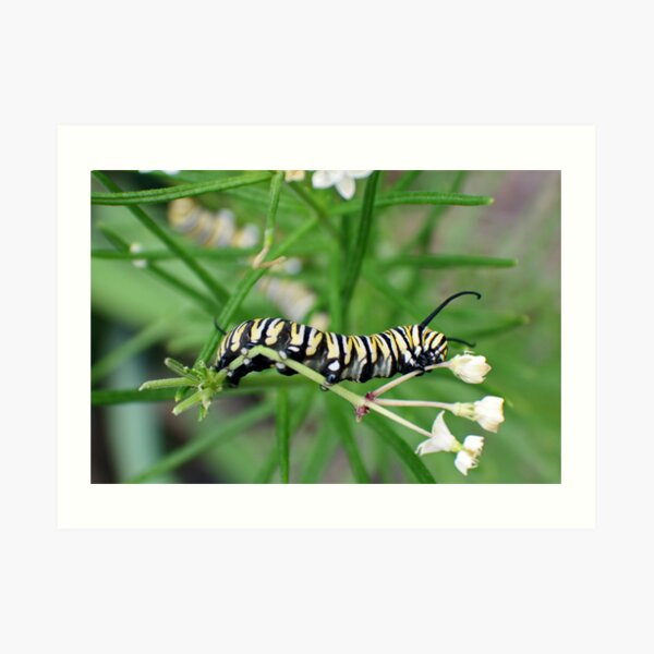 Monarch Caterpillar - 4 Art Print