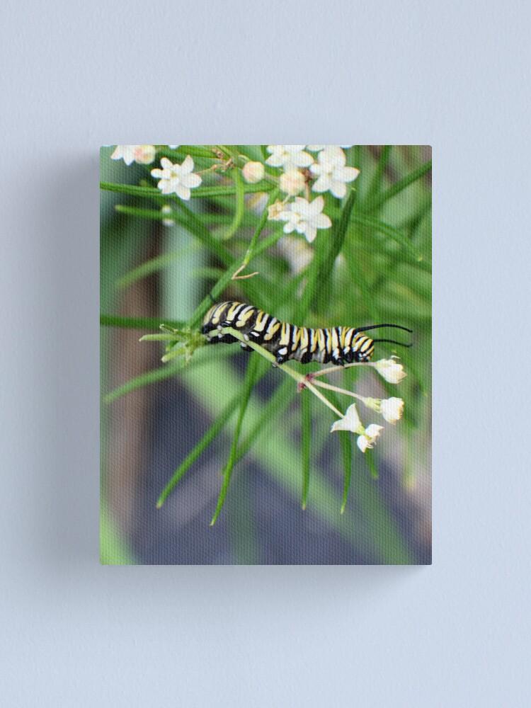 Alternate view of Monarch Caterpillar - 5 Canvas Print