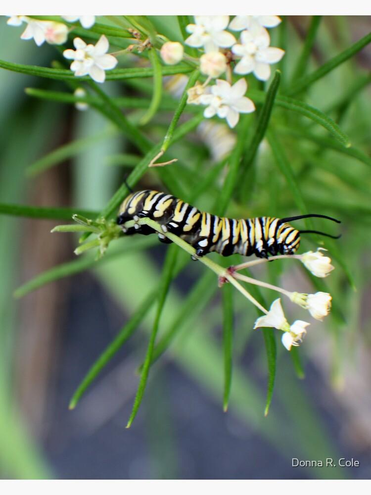 Monarch Caterpillar - 5 by alwaysdrc