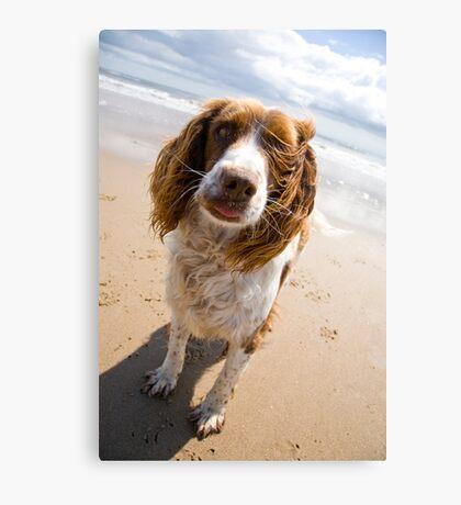 Springer Spaniel on beach Canvas Print