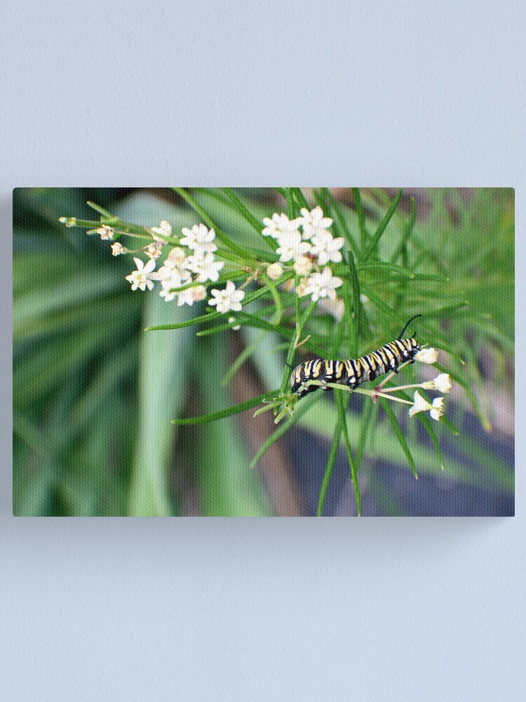 Alternate view of Monarch Caterpillar - 6 Canvas Print