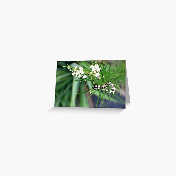 Monarch Caterpillar - 6 Greeting Card