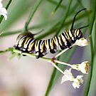 Monarch Caterpillar - 8 by Donna R. Cole