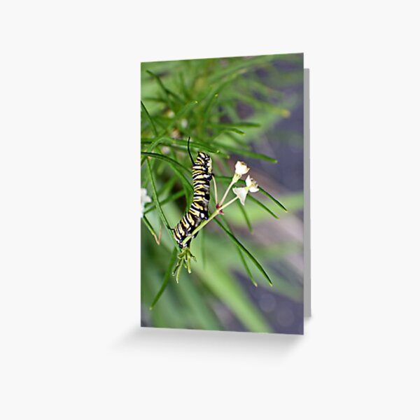 Monarch Caterpillar - 9 Greeting Card