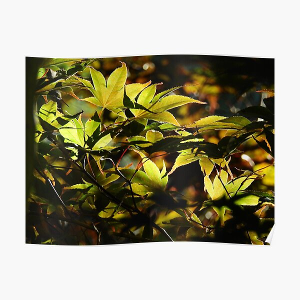 Illuminated Leaves Poster