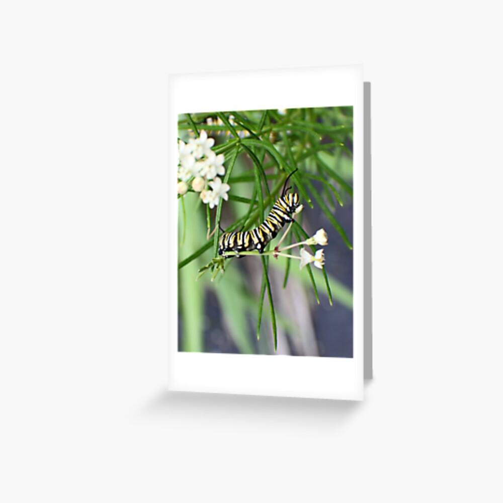 Monarch Caterpillar - 10 Greeting Card