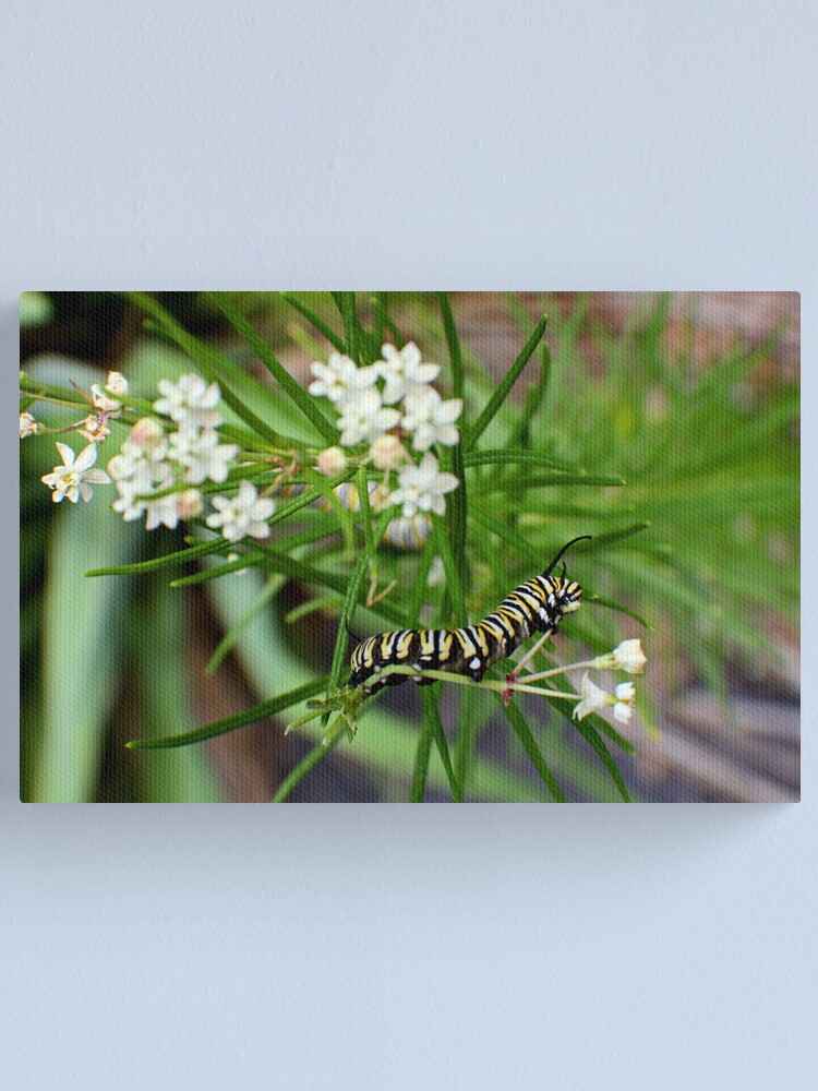 Alternate view of Monarch Caterpillar - 11 Canvas Print