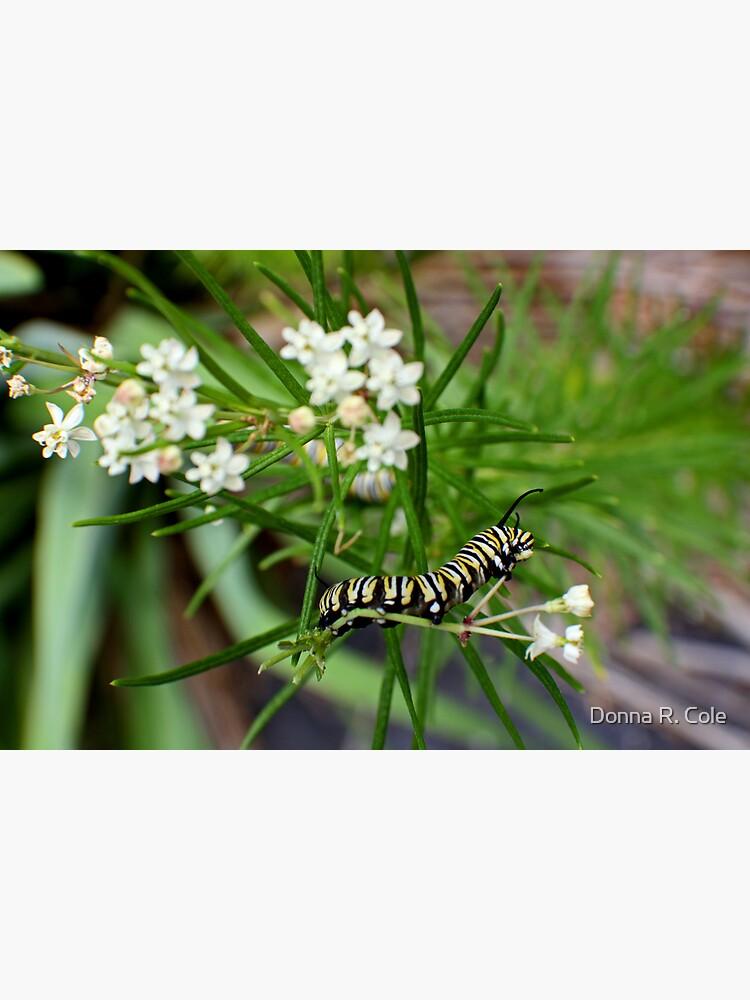 Monarch Caterpillar - 11 by alwaysdrc