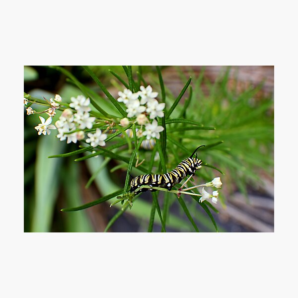 Monarch Caterpillar - 11 Photographic Print