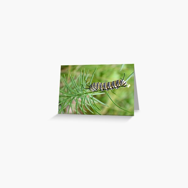 Monarch Caterpillar - 12 Greeting Card