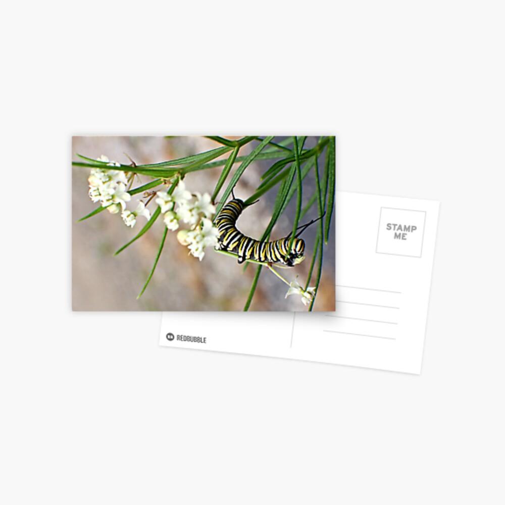 Monarch Caterpillar - 13 Postcard