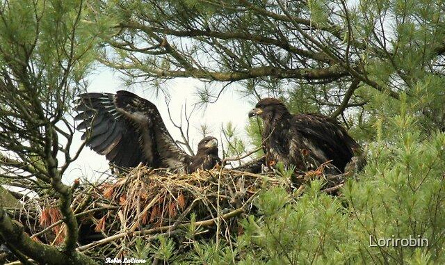 Baby Eagles  by Lorirobin