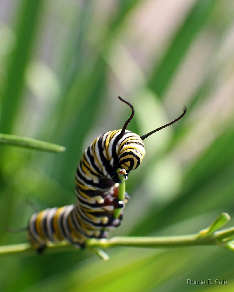 Monarch Caterpillar - 14 by Donna R. Cole