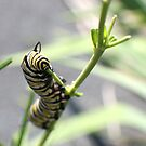 Monarch Caterpillar - 17 by Donna R. Cole