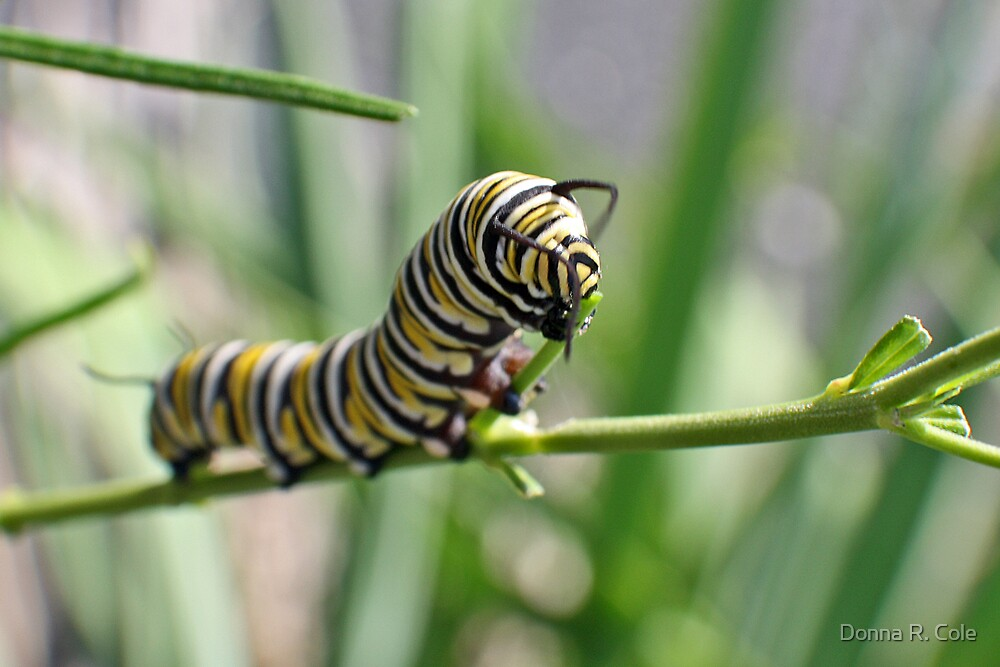 Monarch Caterpillar - 18 by Donna R. Cole