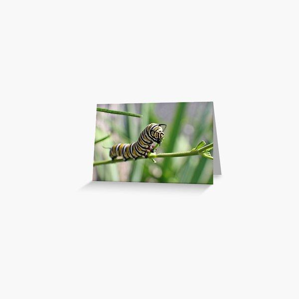 Monarch Caterpillar - 18 Greeting Card