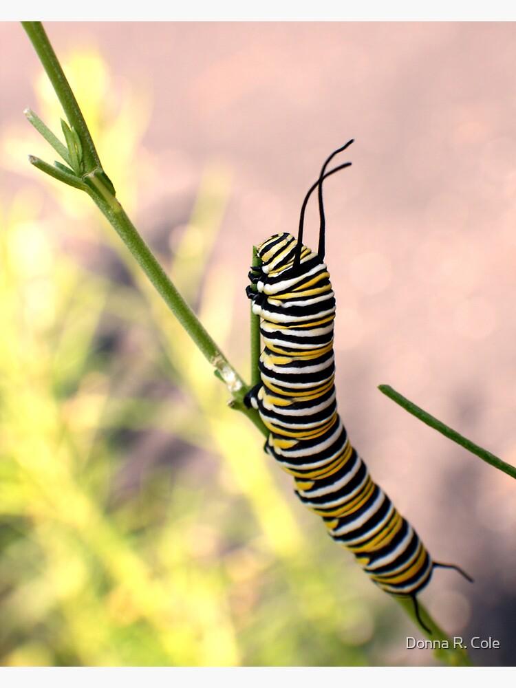 Monarch Caterpillar - 19 by alwaysdrc